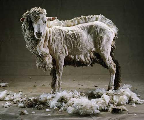 Vaene_lammas