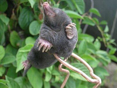 antti loodus - mullamutt - mutilõks - Common - mullamutt - mutt - Maulwurf - Northern Mole - talpa europaea