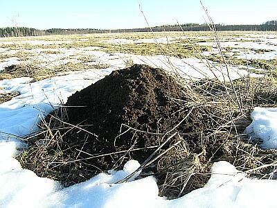mutilõks - antti loodus - mullamutt - mutilõks - Common - mullamutt - mutt - Maulwurf - Northern Mole - talpa europaea