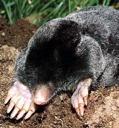 Common - mullamutt - mutt - Maulwurf - Northern Mole - talpa europaea